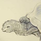 schildpadkop